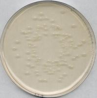 Agar PCA dla mikrobiologii